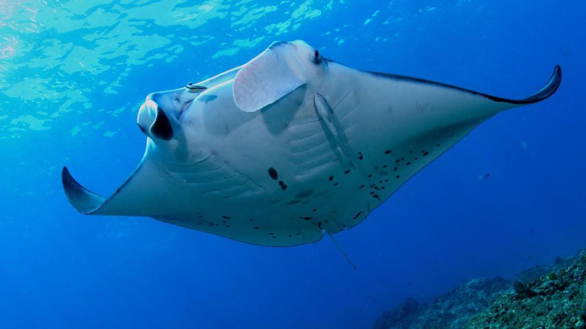 manta ray national geographic